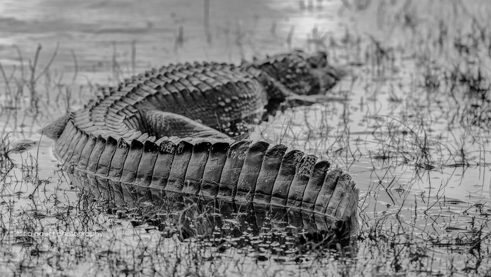Myakka RIver State Park alligator
