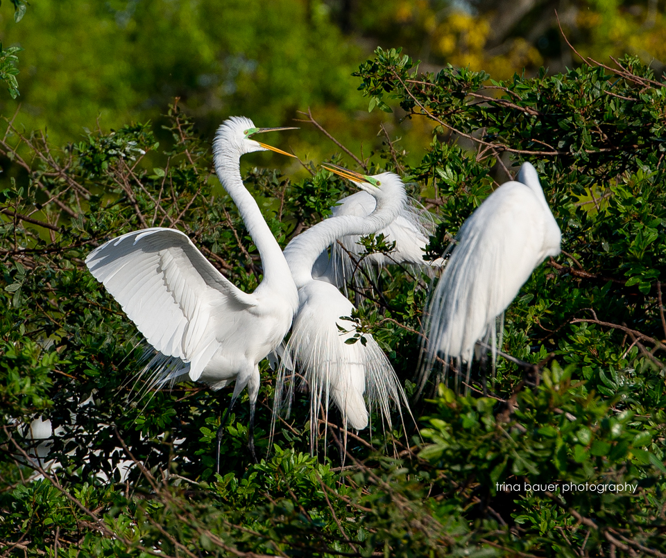 snowy egrets mating season