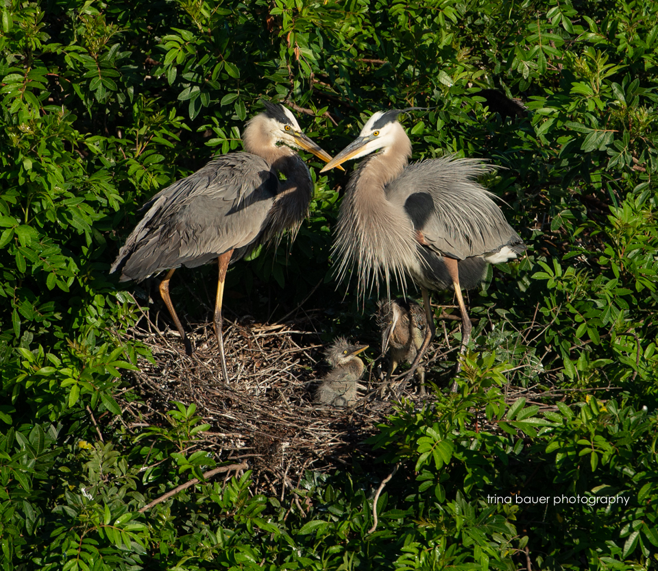 Blue heron family