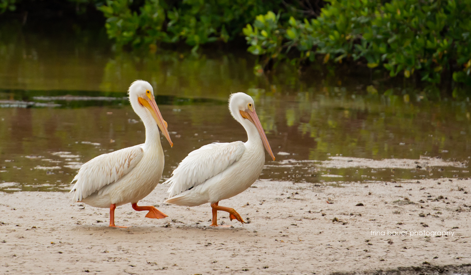 white pelicans Ding Darling