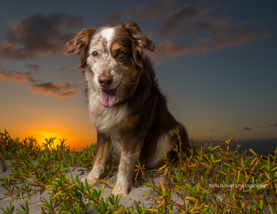 Australian Shepherd on southwest FL beach