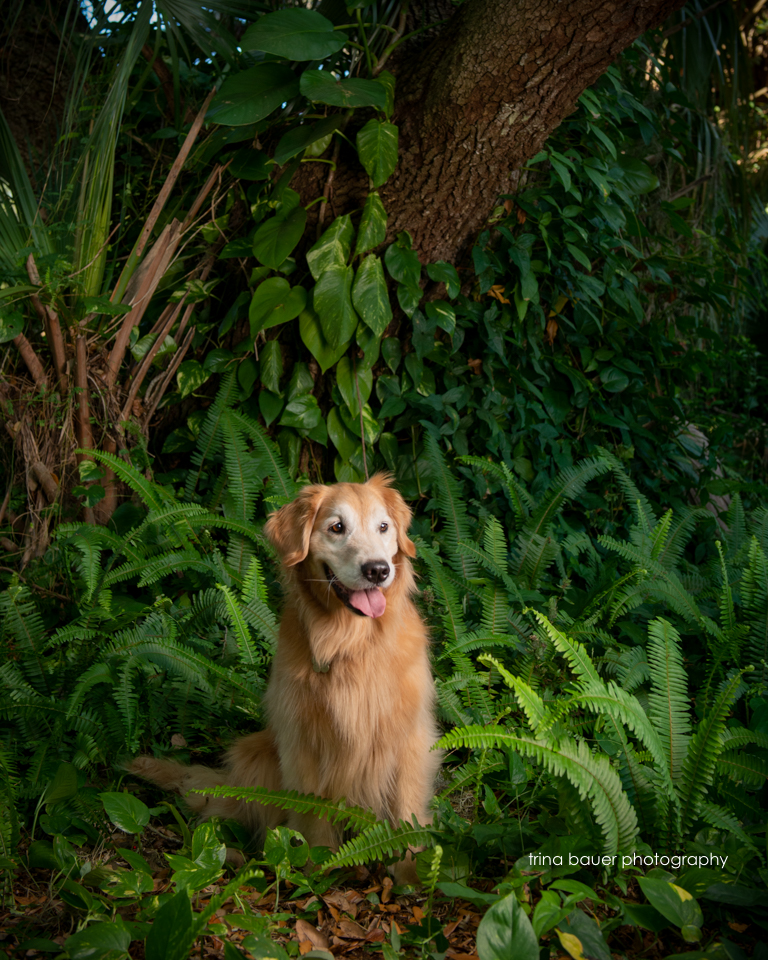 golden retriever among ferns