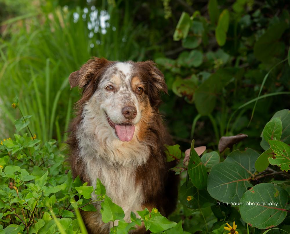 Australian shepherd in shrubs
