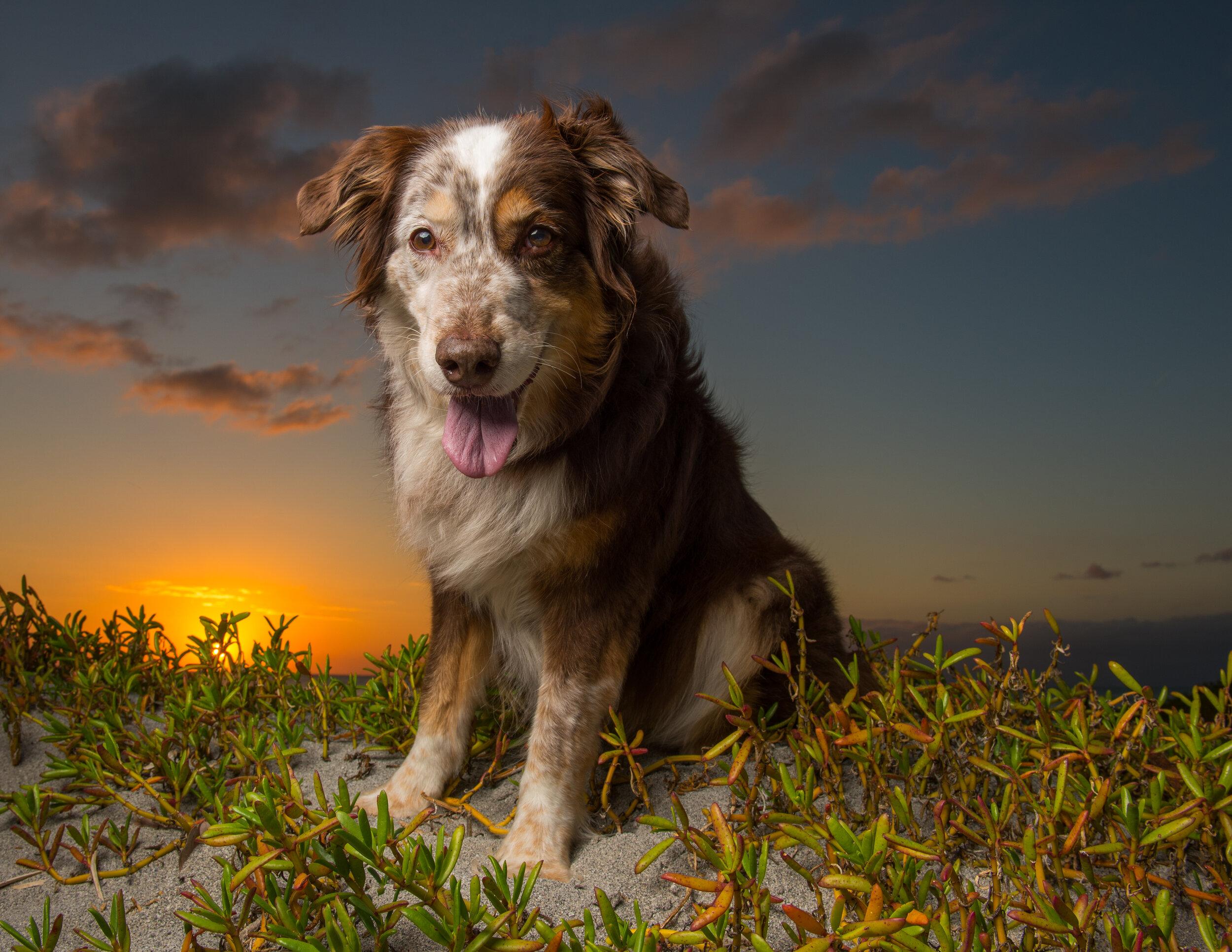 Australian Shepherd on beach at sunset
