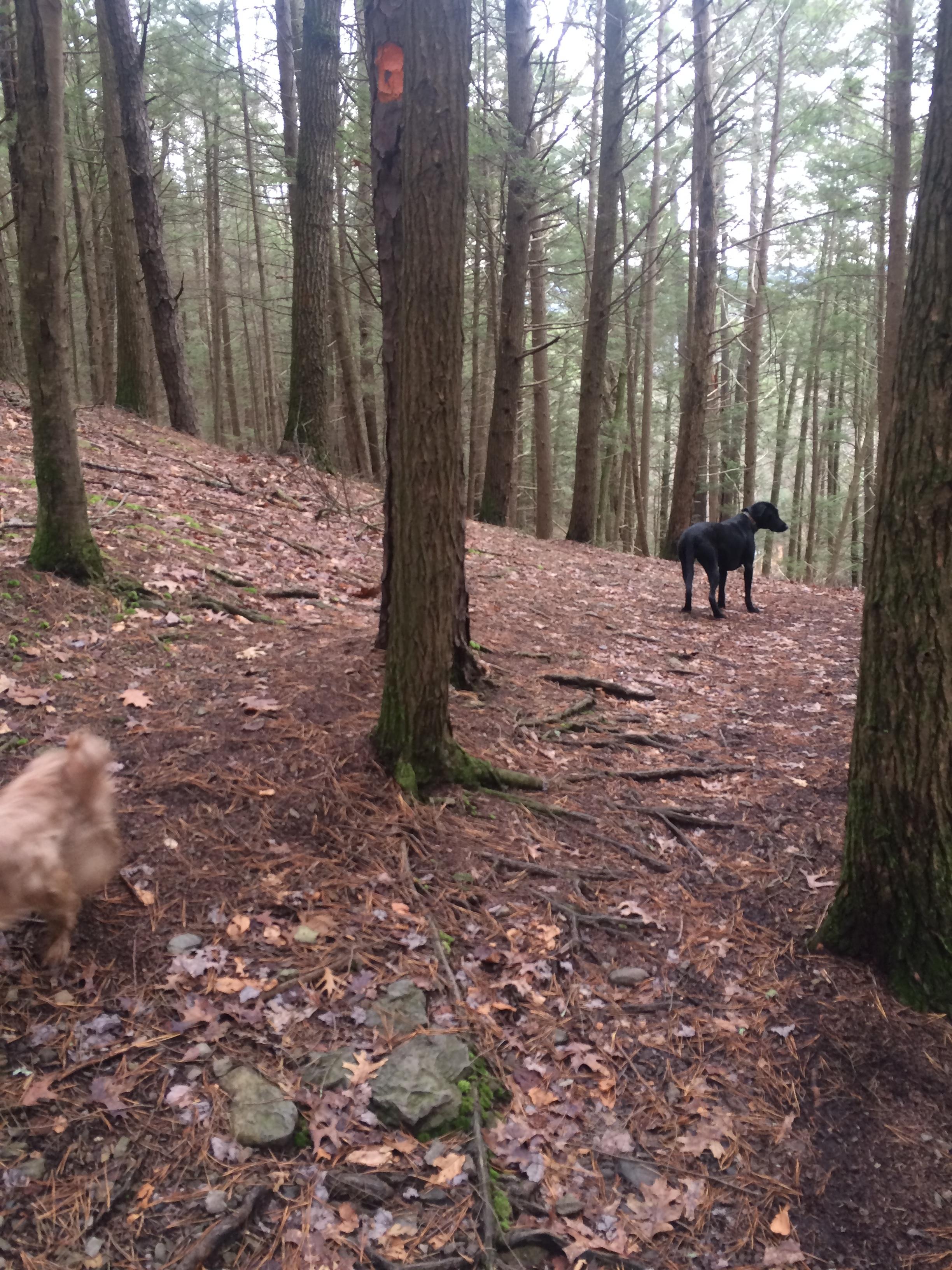 Cruzan (the tall, black dog) and Maggie (the reddish blur in the bottom left corner) enjoying the woods.