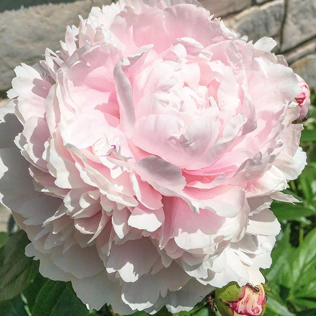 Unbelievable beauty 💗 Have a great weekend! 🌸 #pinkpeony #flowerstagram