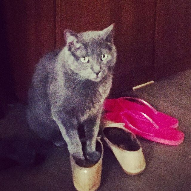 Caught Murphy deciding which shoes go with his outfit today. I support him being a fancy cat, I just wish he'd ask before borrowing my stuff. #cat #catsofinstagram #catmom #thedummylife #whichshoestowear #murphycat