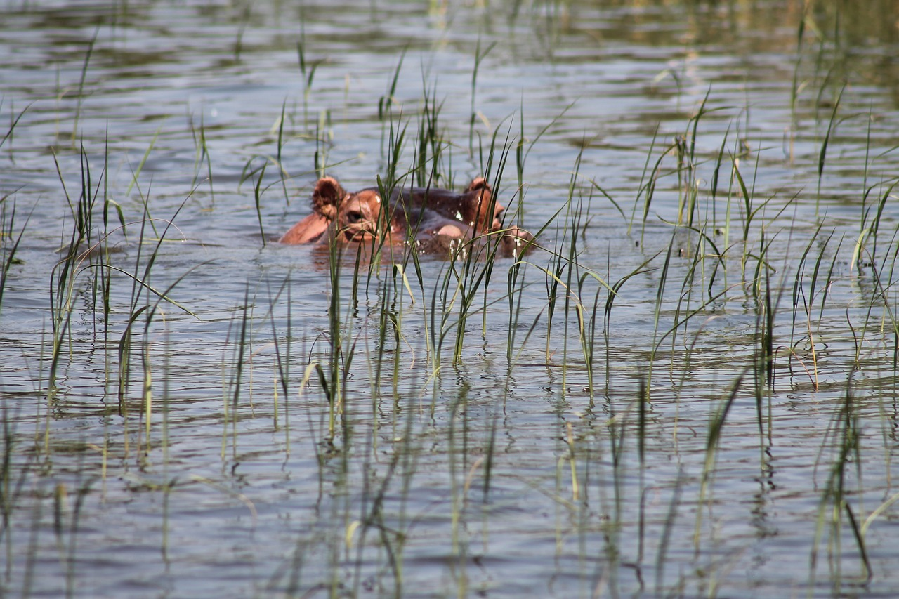hippopotamus-950051_1280.jpg