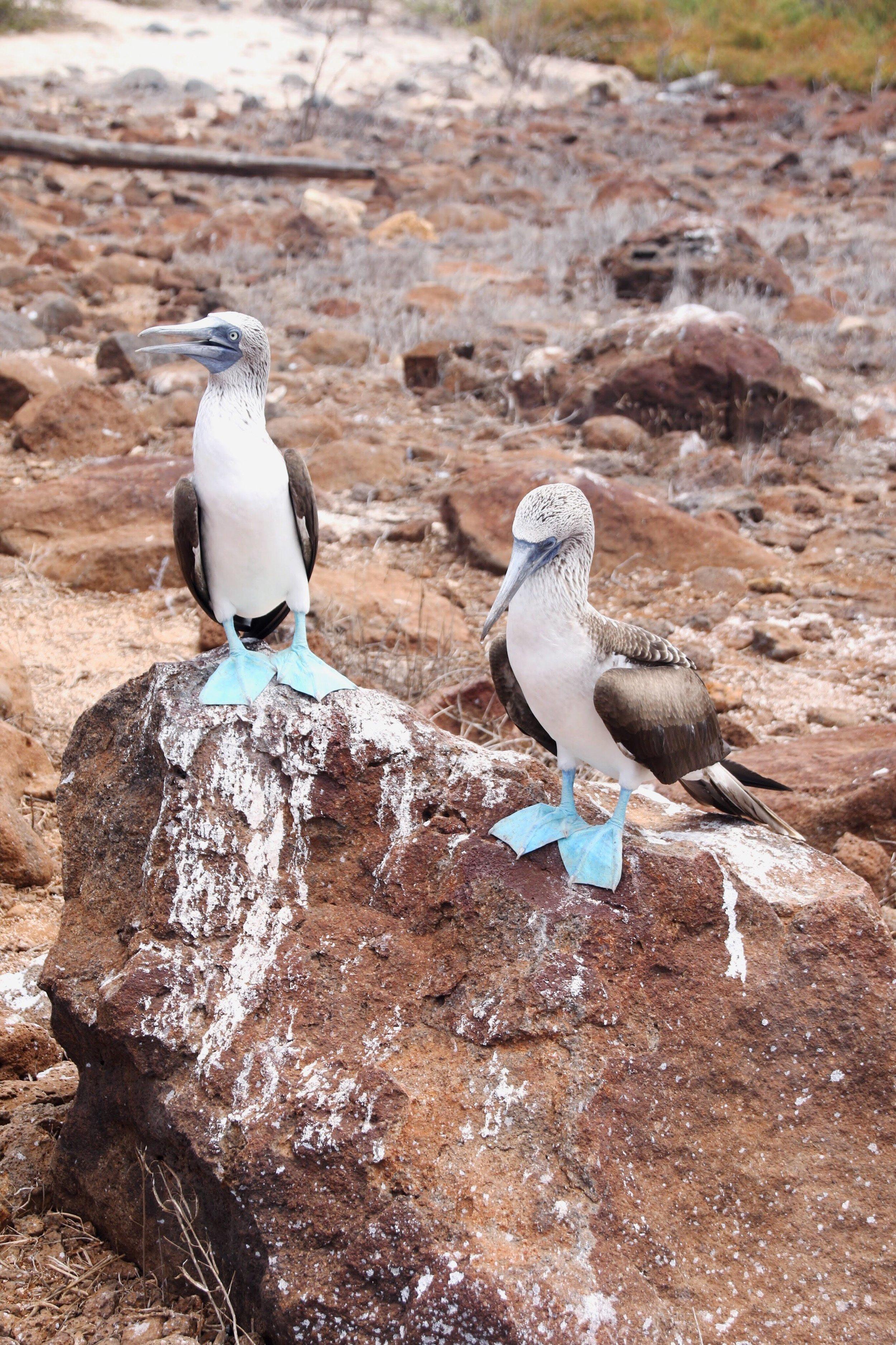 Galapagos_Land_Tours_Blue_Footed_Boobie