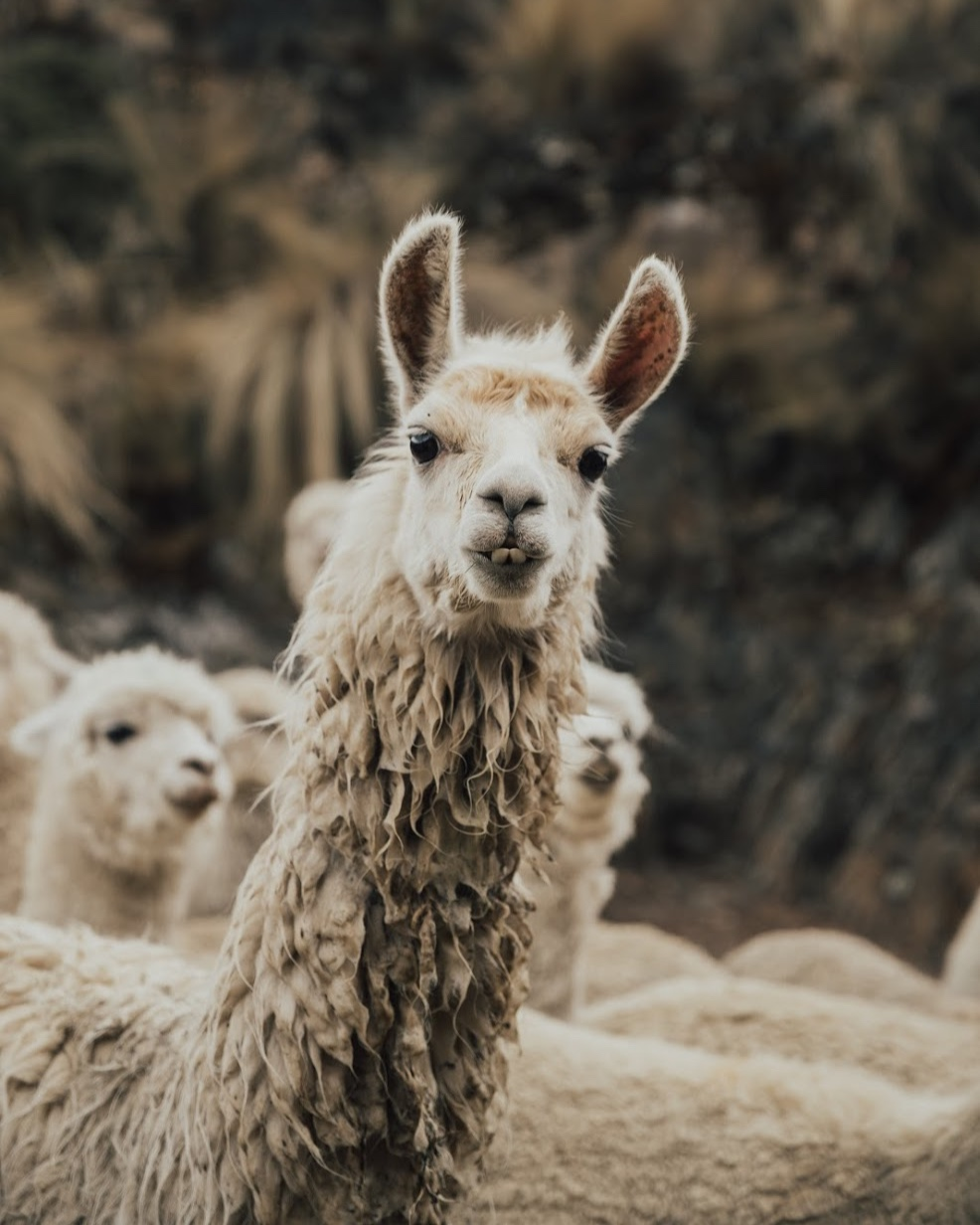 Five Facts You Might Not Have Known About Llamas — Acanela Expeditions