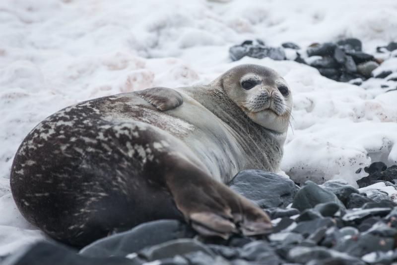 wildlife-in-antarctica-seal-ice.jpg