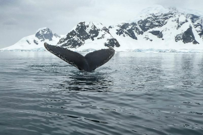 wildlife-in-antarctica-whale-swimming.jpg
