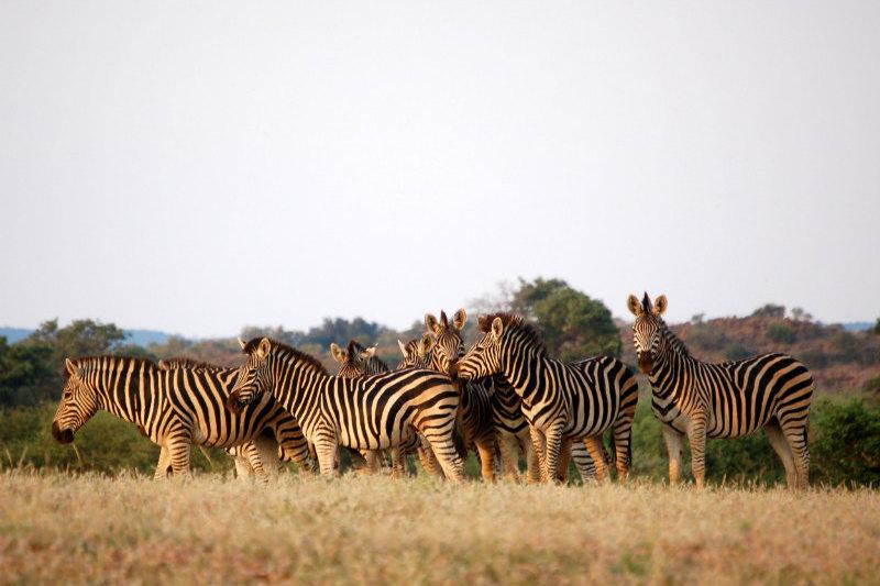 botswana-wetlands-safari-zebras.jpg