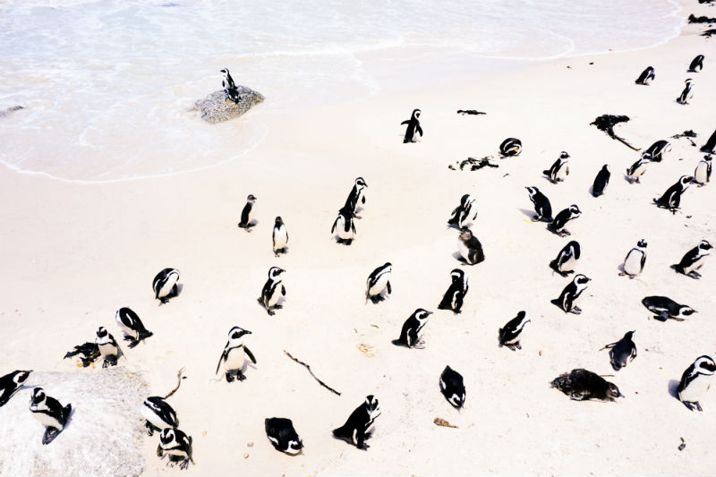 south-african-cities-and-safaris-cape-town-penguins.jpg