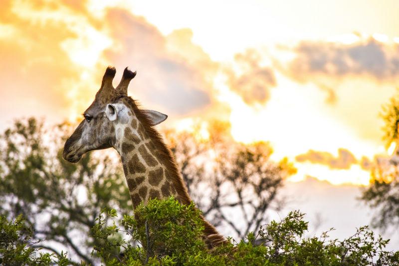 south-african-cities-and-safaris-kruger-national-park-giraffe.jpg