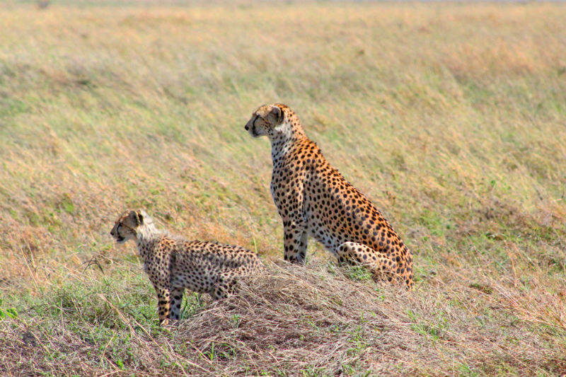 serengeti-wildlife-and-wonders-cheetahs.jpg