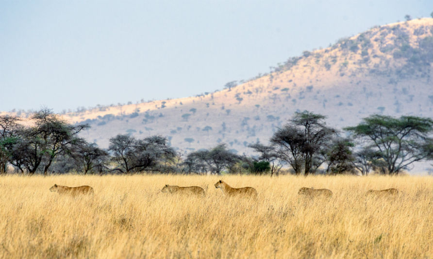 serengeti-wildlife-and-wonders-lions.jpg
