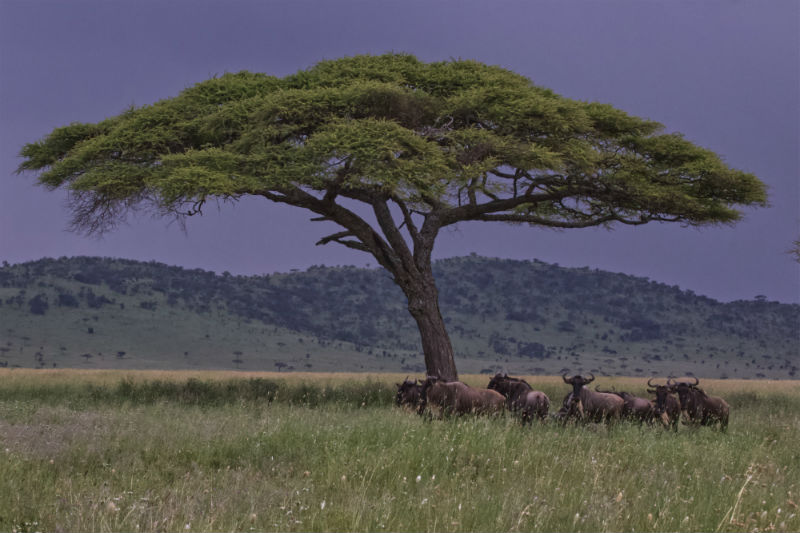 serengeti-wildlife-and-wonders-tree.jpg