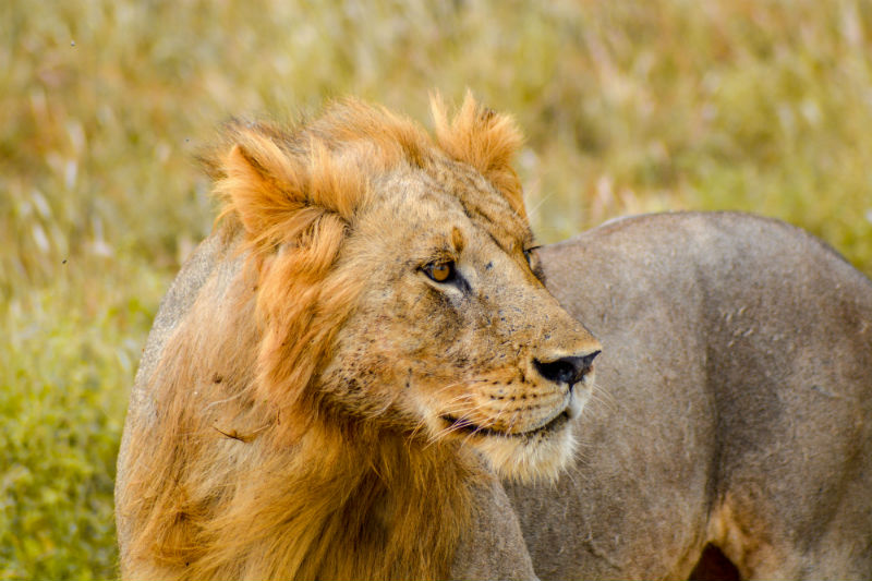 kenya-wildlife-safari-lion.jpg