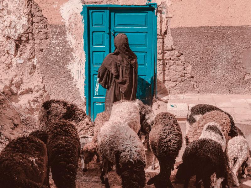 egyptian-pharaohs-adventure-aswan-sheep.jpg
