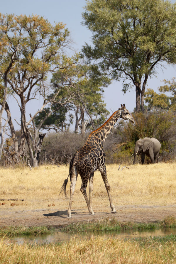 traveler-review-african-safari-botswana-giraffe.jpg