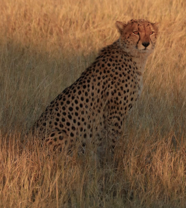 traveler-review-african-safari-botswana-cheetah.jpg