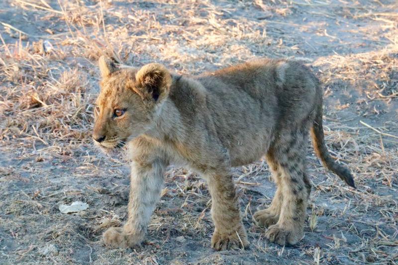 traveler-review-african-safari-botswana-lion-cub.jpg