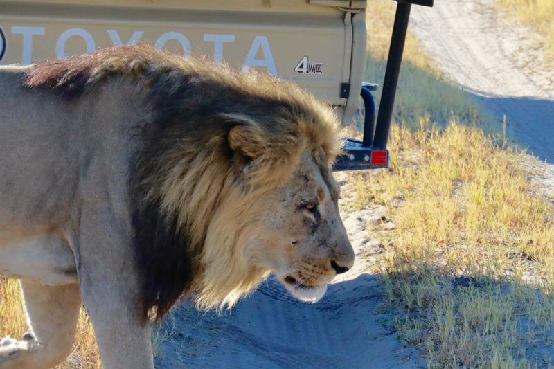 traveler-review-african-safari-botswana-lion.jpg