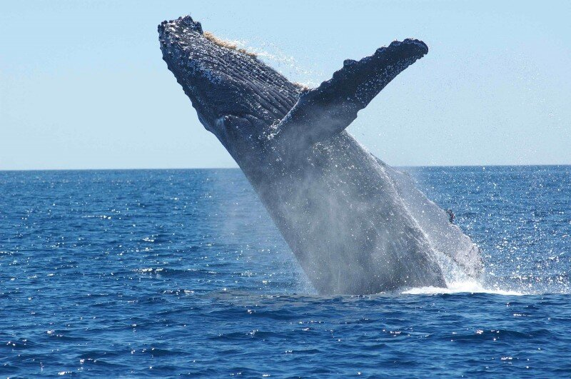 swimming-with-humpback-whales-breaching-acanela.jpg