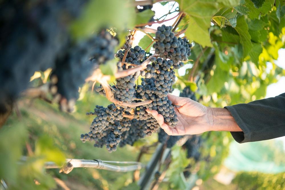 Unsworth grapes