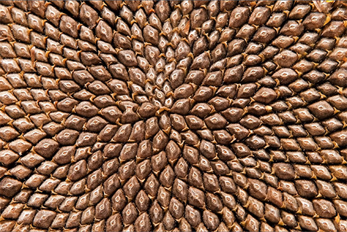 Sunflower seeds arranged in the Fibonacci spiral