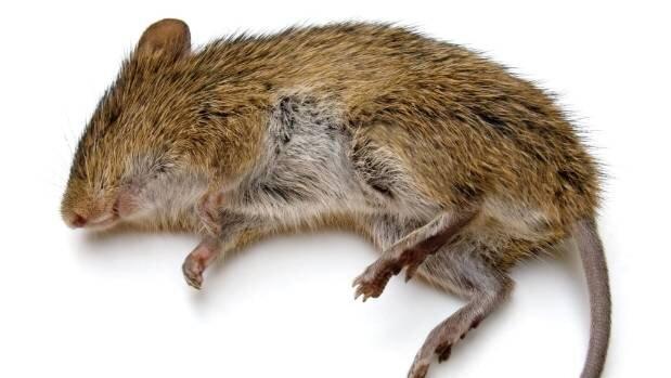 dead-rat-png-david-hunter-was-giving-away-dead-rats-on-facebook-619.jpg
