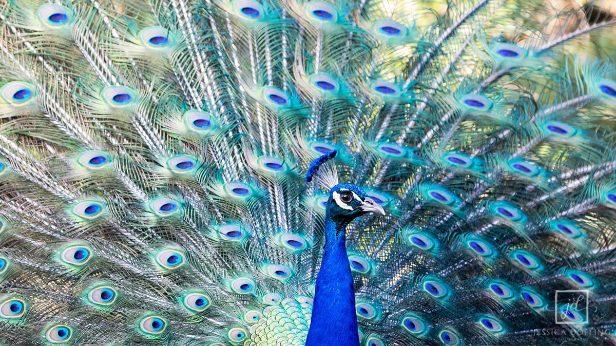 peacock full feathers in Mayfield Park, Austin TX