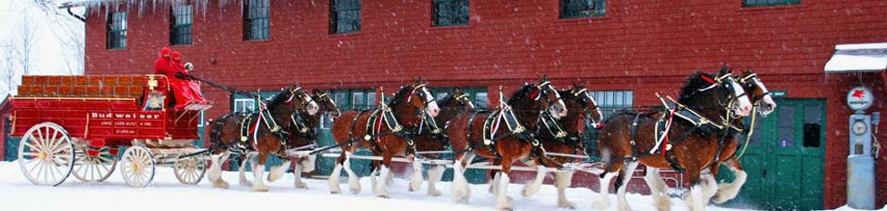 The famous Budweiser Clydesdales in front of the Tool Building, January 2010 (Courtesy of The Rocks Estate)
