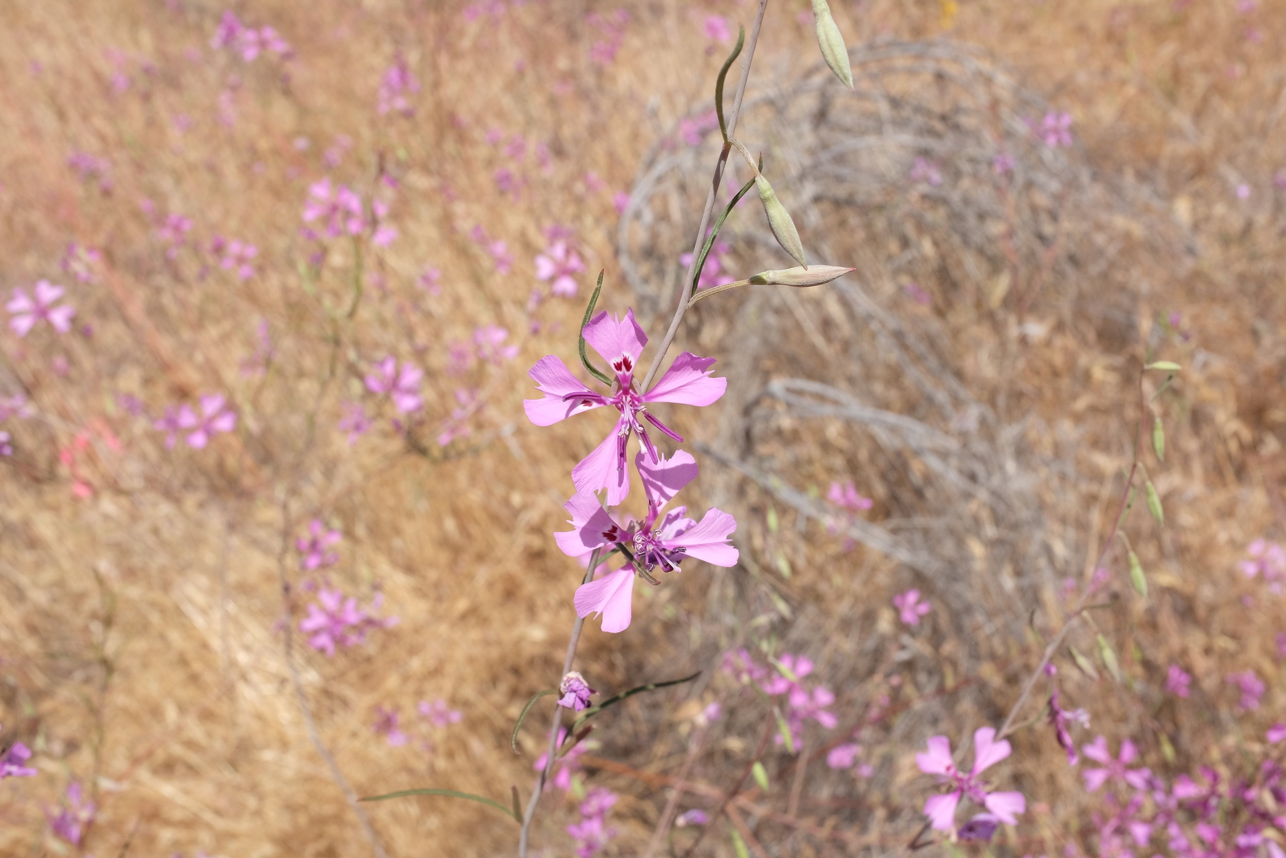 C. xantiana  ssp.  xantiana
