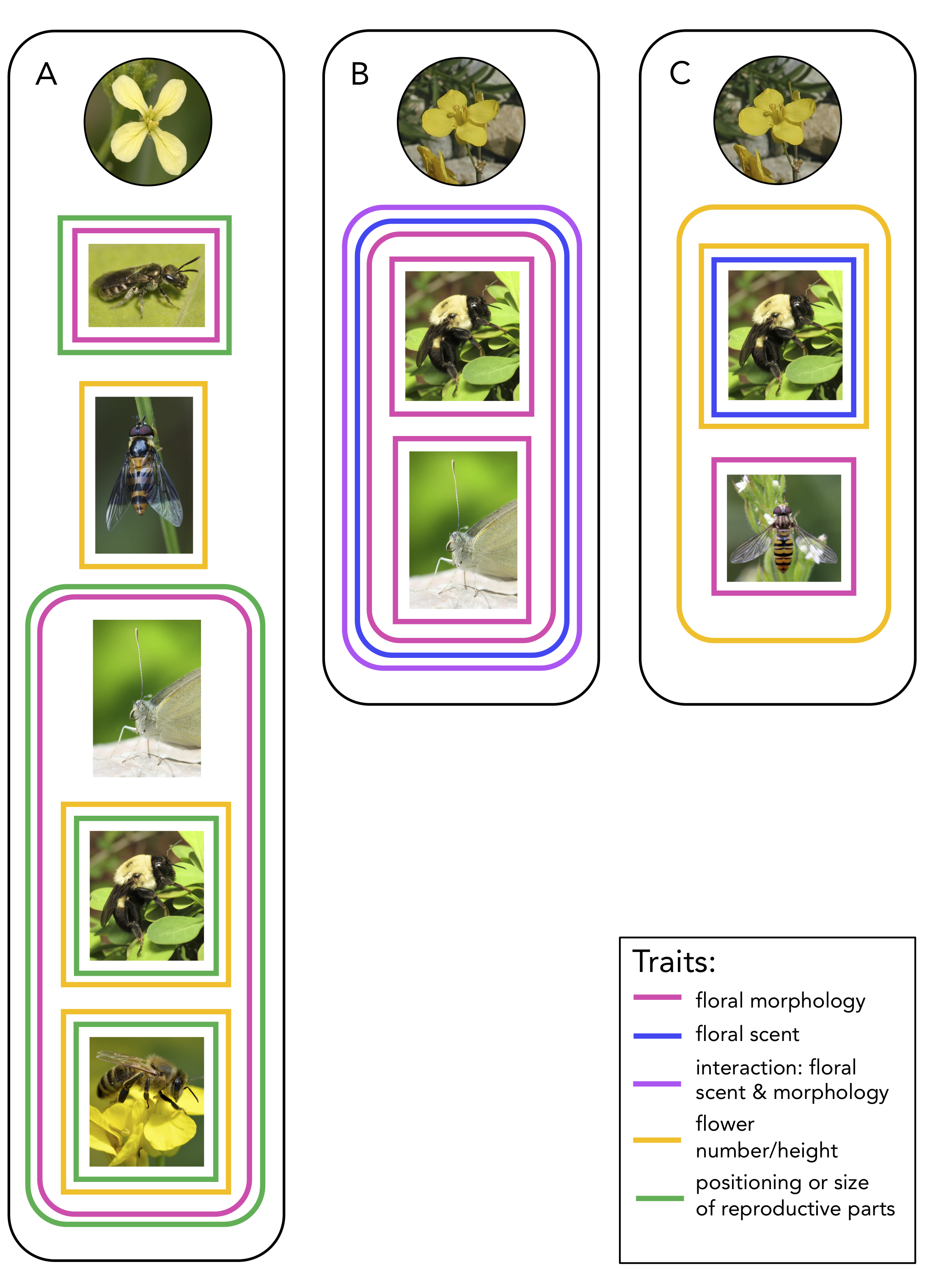 Figure 1 in my digest. This figure summarizes the results of three experiments that have measured selection on the floral traits of plants that were subject to different pollinator treatments. The colored boxes indicate the plants in those treatments experienced selection on a certain type of floral trait.