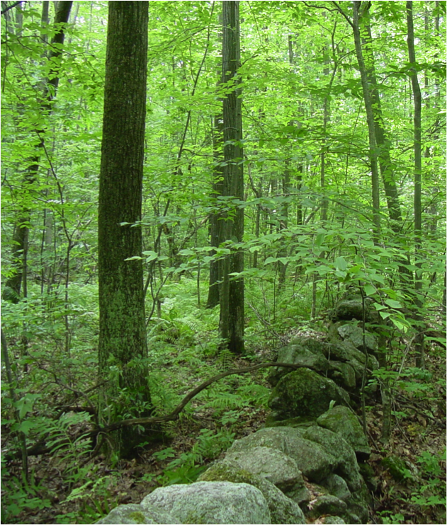 A stone wall runs through the Lyford Grid at Harvard Forest and provides evidence of past agricultural land use. Photo credit: Audrey Barker Plotkin.