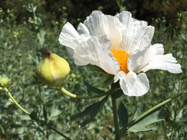 Fried egg or Mantilija poppy at Descanso Gardens  Photo by  Martin Pierce Hardware  Los Angeles Ca  90016