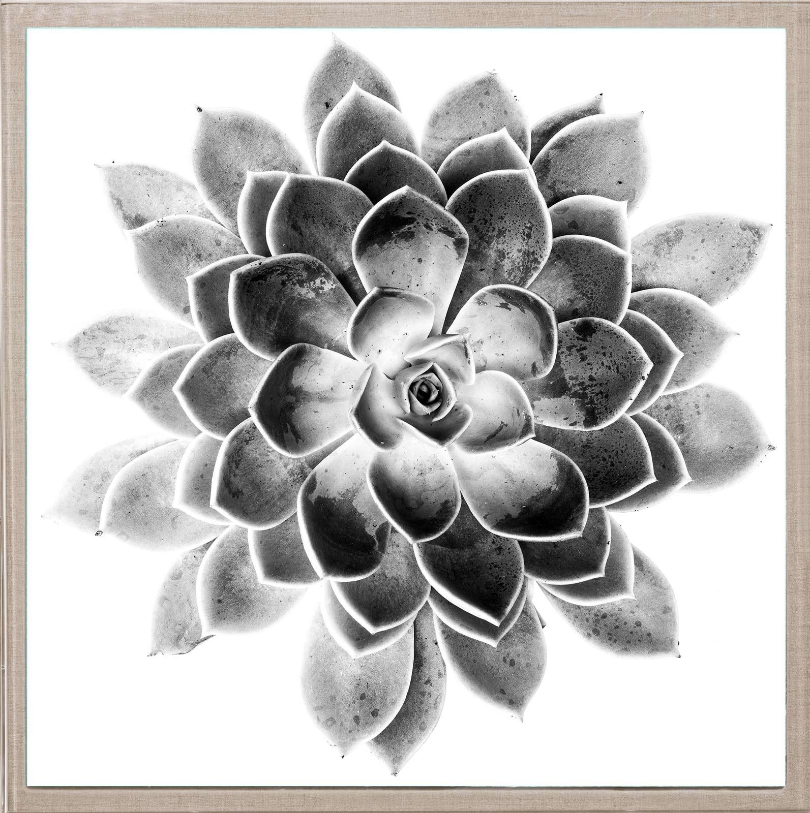 Natural Curiosites  Black and White Succulent 2