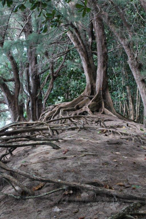 Banyan tree roots inspiration for Hedgerow Pull mounting point
