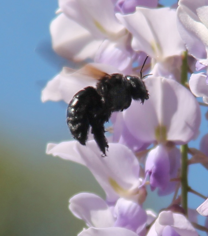 Carpenter bee finds wisteria a good source for nectar