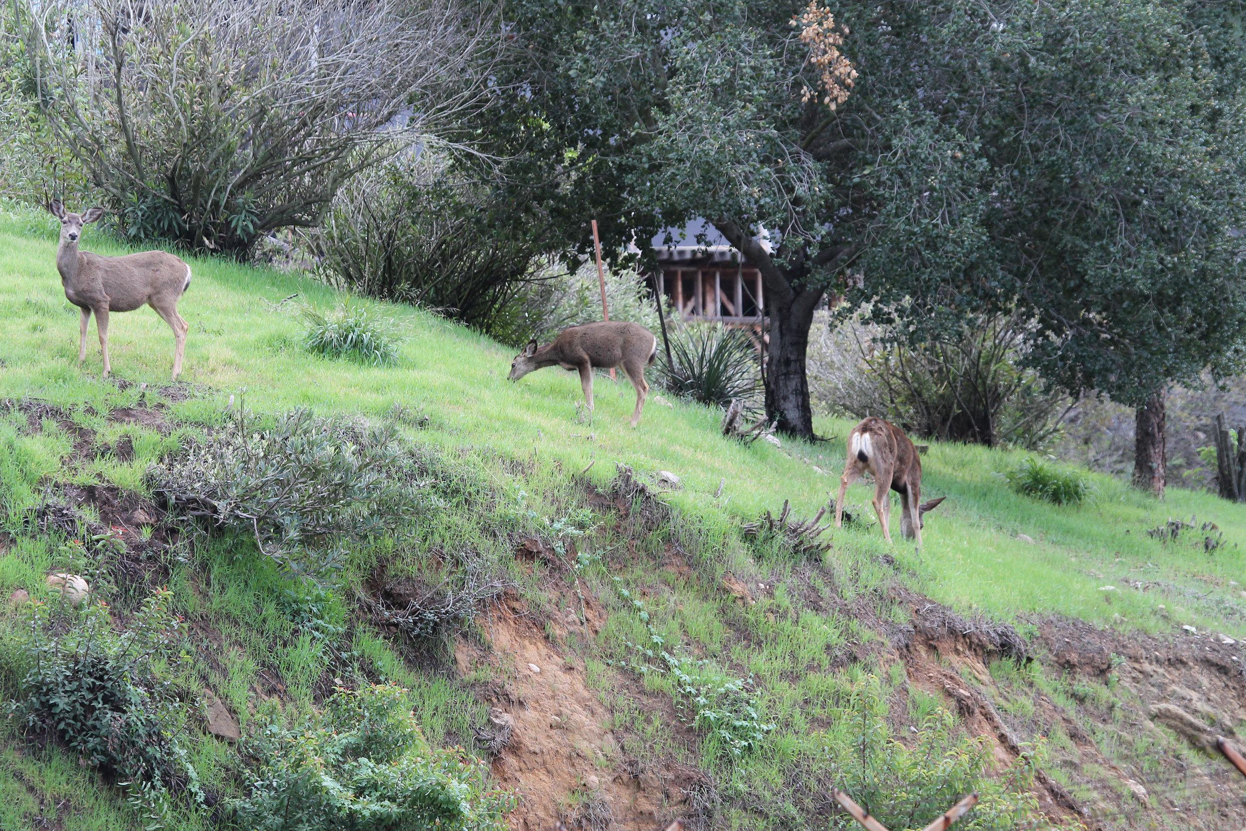 mule deer family.jpg