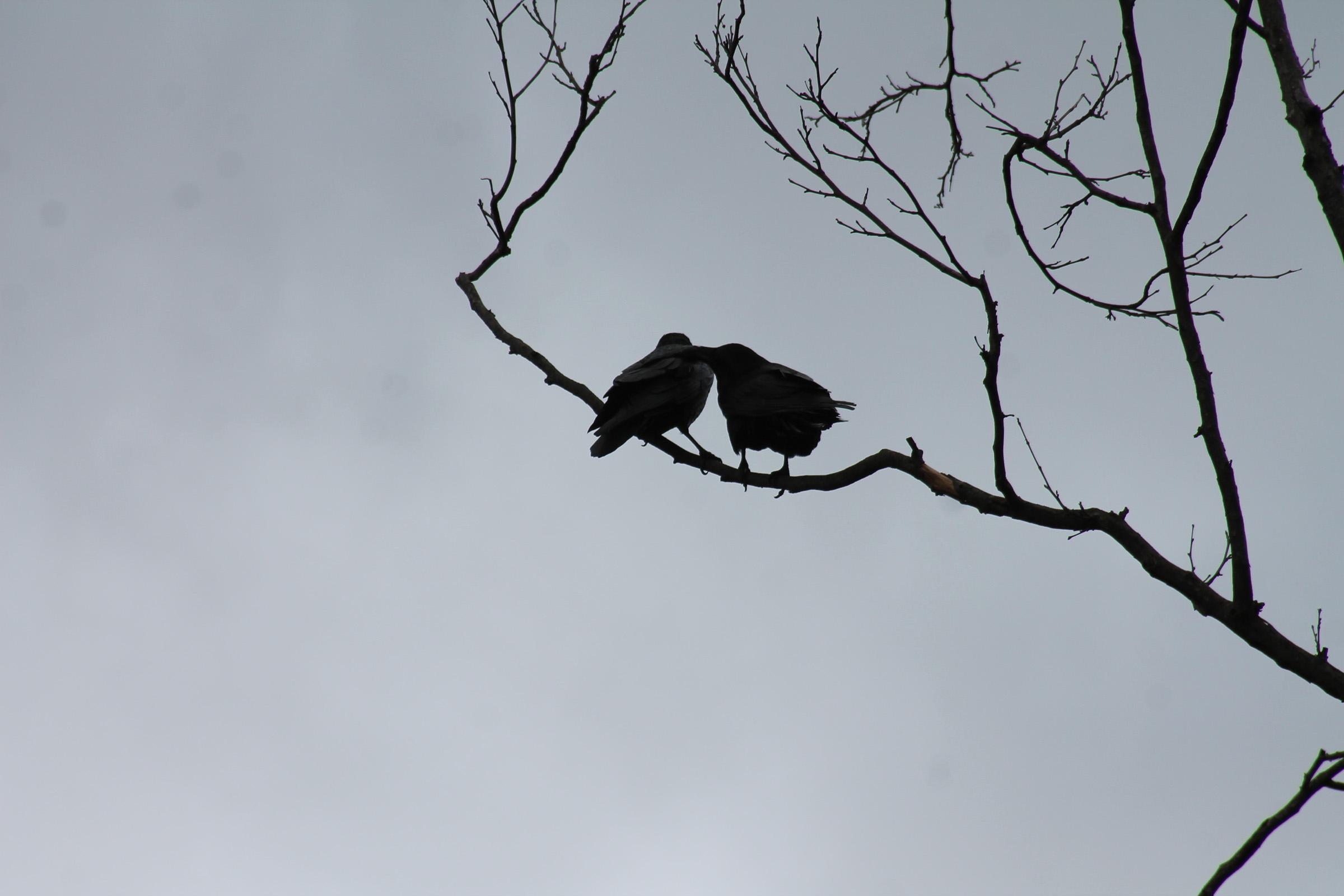 ravens preening.jpg
