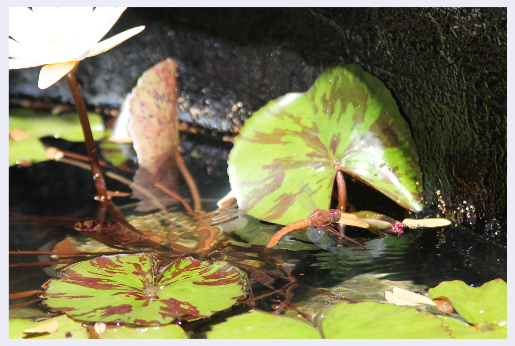 Dragonfly selecting location in pond before laying her eggs.jpg