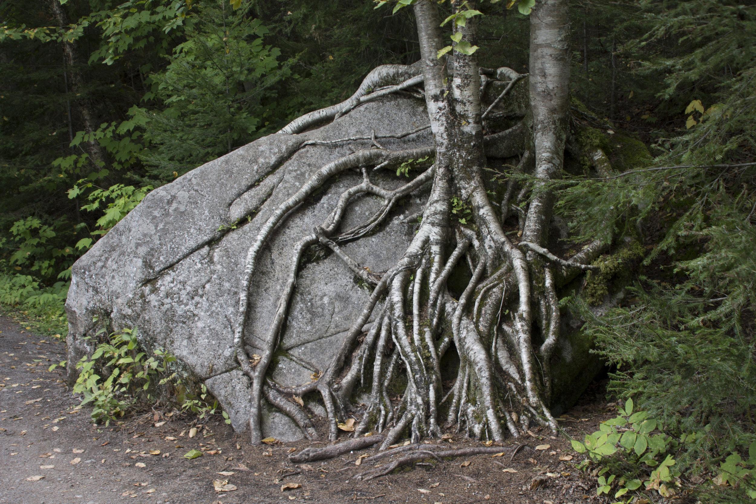 birch tree roots.jpg