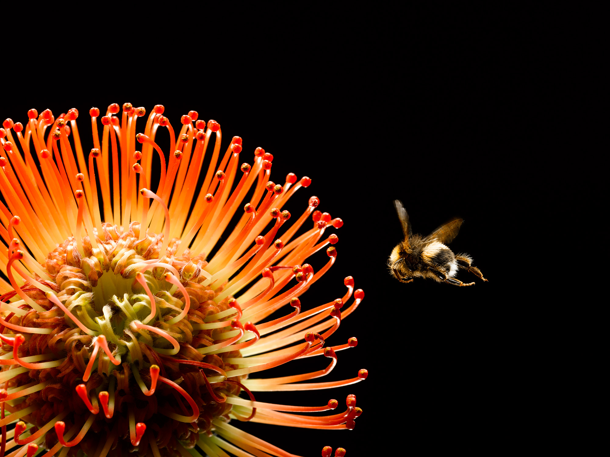 Bee-Flying-to-Orange-Pin-Cushion-Protea_forweb.jpg