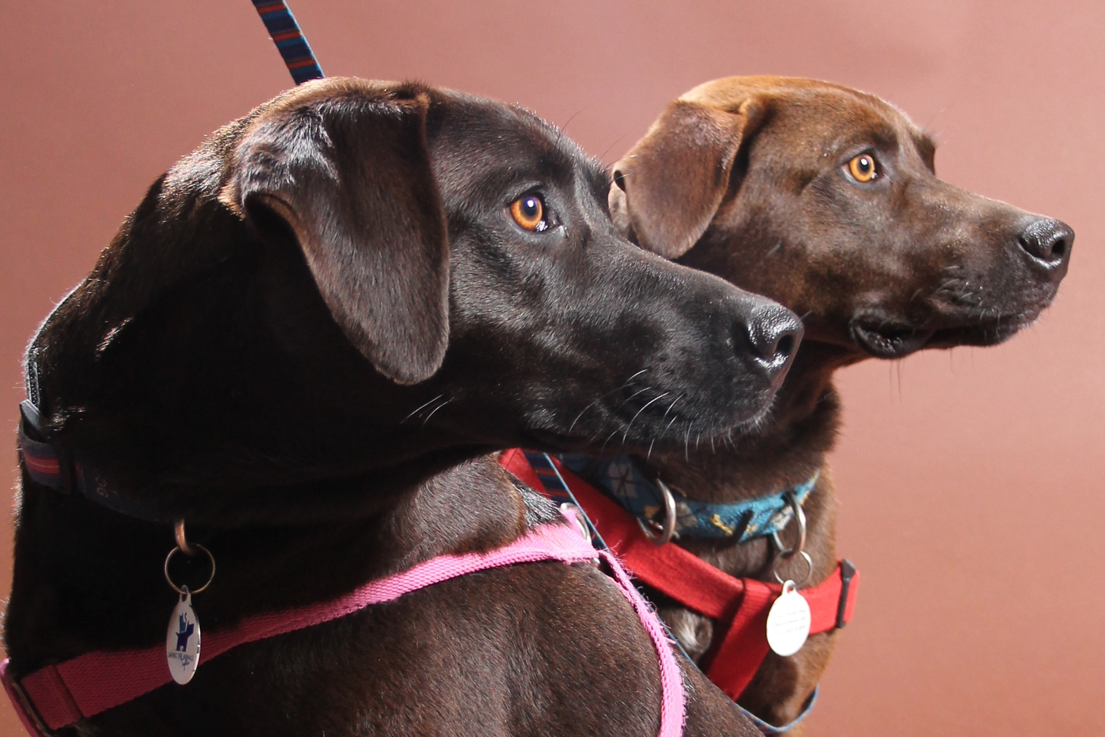 Dixie and Suzie are in need of a new home after their owner was deployed. They are bonded sisters and will only be adopted together.