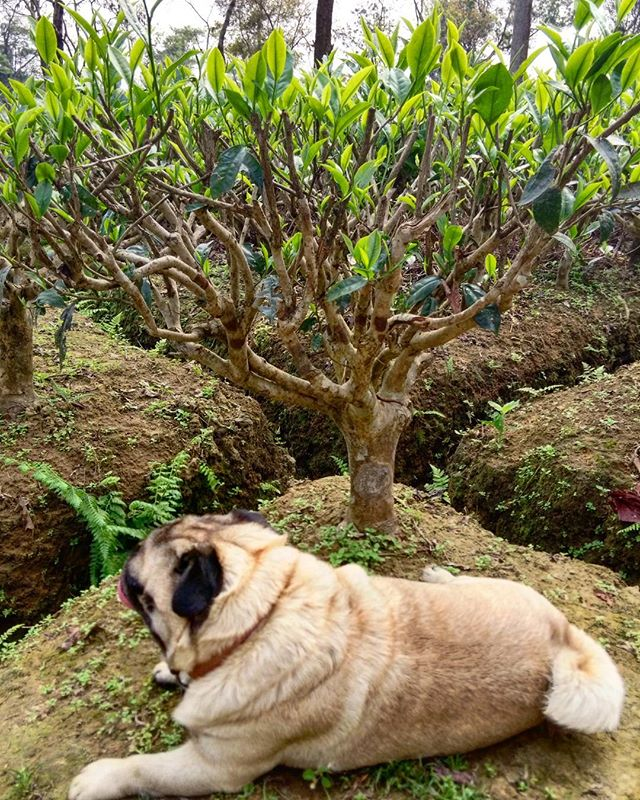 """Nice place for some shade""  #dogsoftea #puglife #tealife"