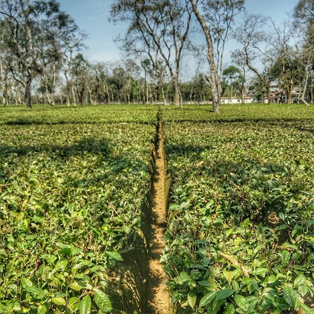 A well planned drainage system is an essential part of any tea garden. Water logging in the drains, is one of the main reasons that results in the deterioration of the soil and eventually the tea shrub itself.  #tealife #AssamTea #farmlife #tea