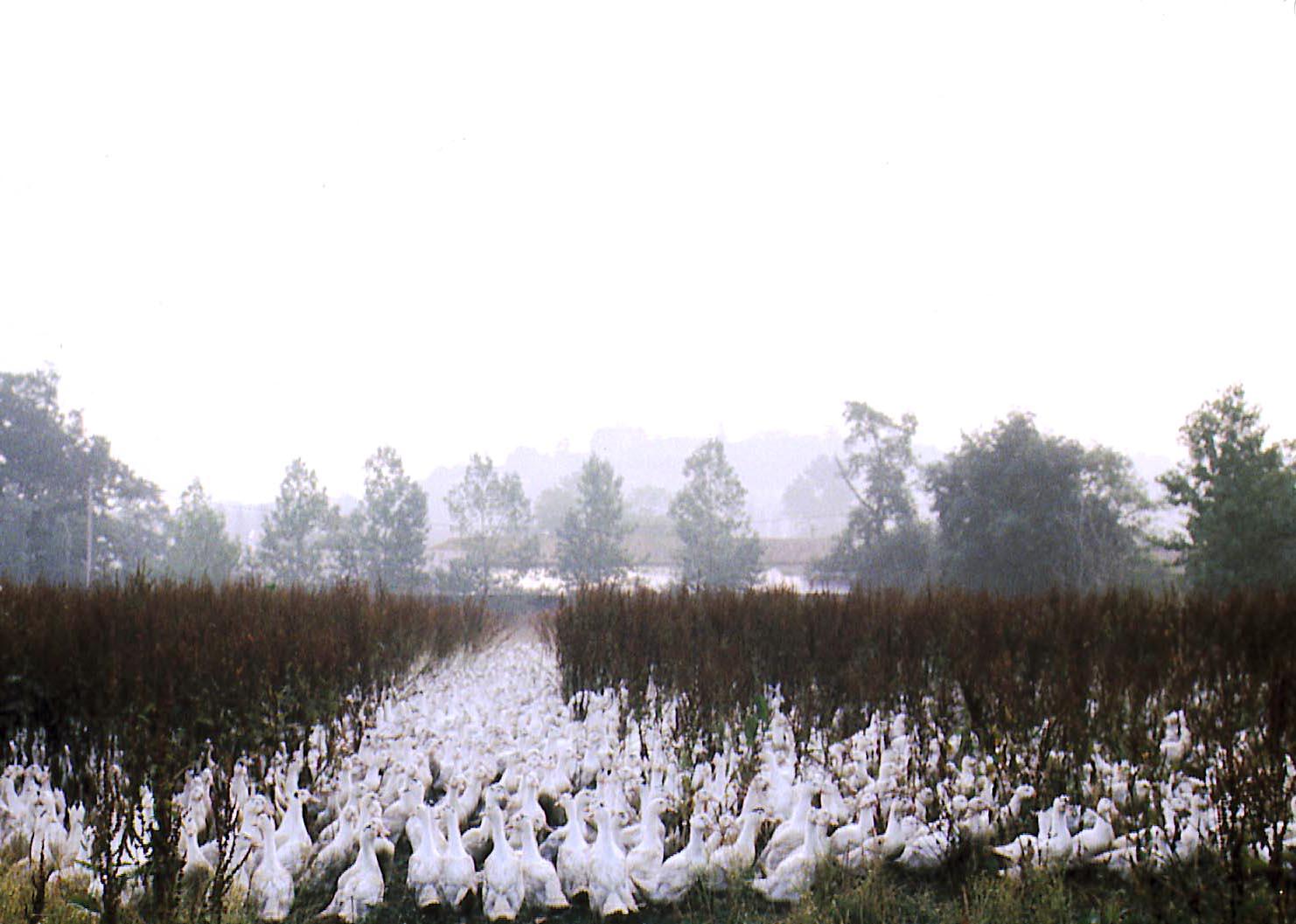 Ducks at dawn_france.jpg